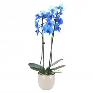 Φυτά εσωτερικού χώρου -Ορχιδέα Phalaenopsis Μπλε